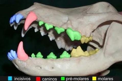 Arcada dentária canina
