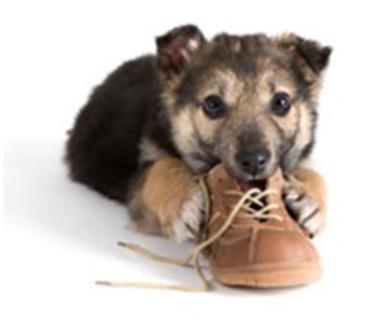 Cão mordendo sapato