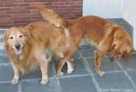 Comportamento de cadela em estro