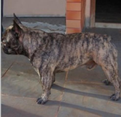 Capturar (Copy) buldogue frances (11)