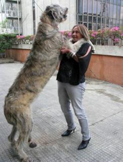 cão grande