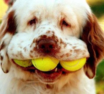 Cão com bolas na boca