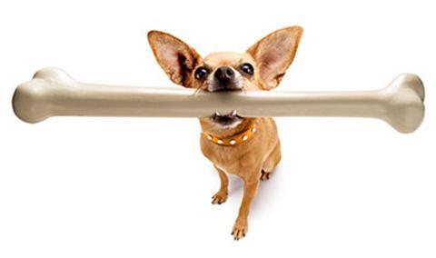 Cão Chiuaua