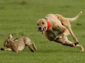 Cão perseguindo um coelho