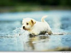 Cão nadando