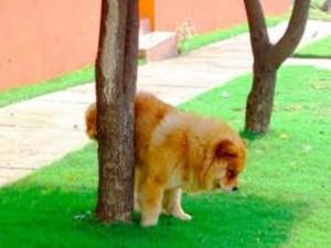 Cão urinando