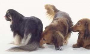 Cheirando o traseiro de outros cães