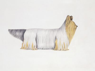 clydesdale-terrier-illustration-3