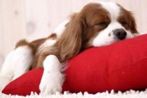 Cão na almofada vermelha