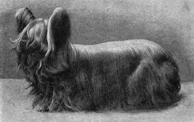 paisley-terrier