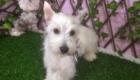 Baby West Terrier (1)