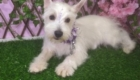 Baby West Terrier (2)