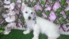 Baby West Terrier (3)