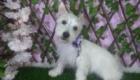 Baby West Terrier (4)