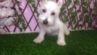 Baby West Terrier (5)