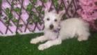 Baby West Terrier (6)