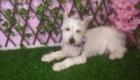 Baby West Terrier (7)