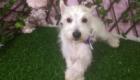 Baby West Terrier (8)