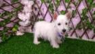 West Terrier Rosinha (1)