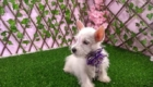 West Terrier Rosinha (10)