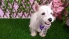 West Terrier Rosinha (11)