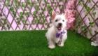 West Terrier Rosinha (12)