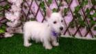 West Terrier Rosinha (13)