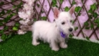 West Terrier Rosinha (14)