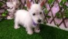 West Terrier Rosinha (15)
