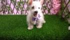 West Terrier Rosinha (2)
