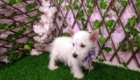 West Terrier Rosinha (3)