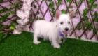 West Terrier Rosinha (4)