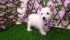 West Terrier Rosinha (5)