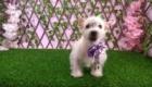 West Terrier Rosinha (6)