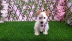 West Terrier Rosinha (7)