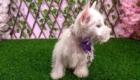 West Terrier Rosinha (8)