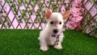 West Terrier Rosinha (9)