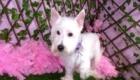 Belinha Westie Terrier (1)