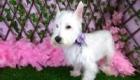 Belinha Westie Terrier (10)