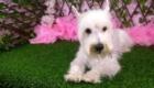 Belinha Westie Terrier (2)