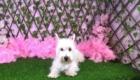 Belinha Westie Terrier (3)