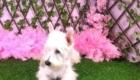 Belinha Westie Terrier (4)