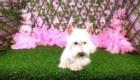 Belinha Westie Terrier (5)