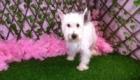 Belinha Westie Terrier (6)