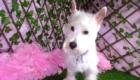 Belinha Westie Terrier (7)