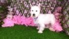 Belinha Westie Terrier (8)