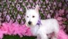 Belinha Westie Terrier (9)