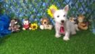 Charlie West Highland White Terrier (10)