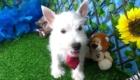 Charlie West Highland White Terrier (11)