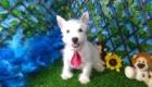 Charlie West Highland White Terrier (12)